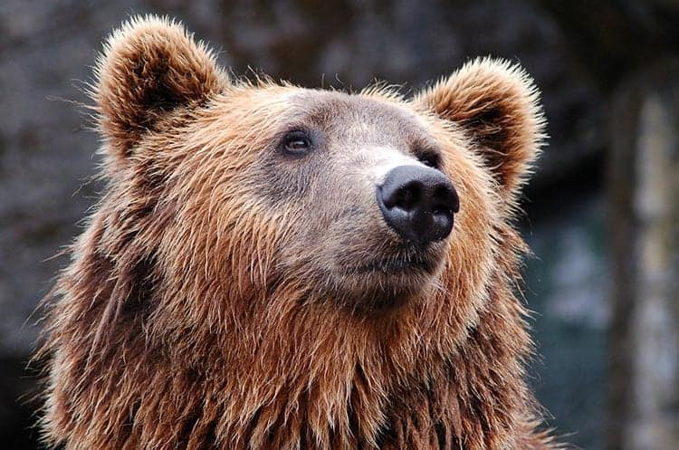 strong animal bear