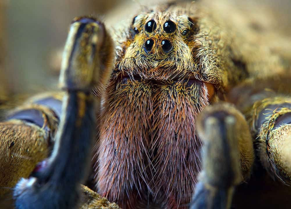 Scary Brazilian Wandering Spider