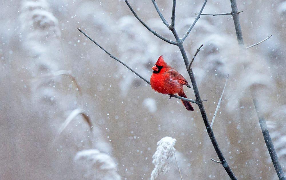 dead cardinal symbolism