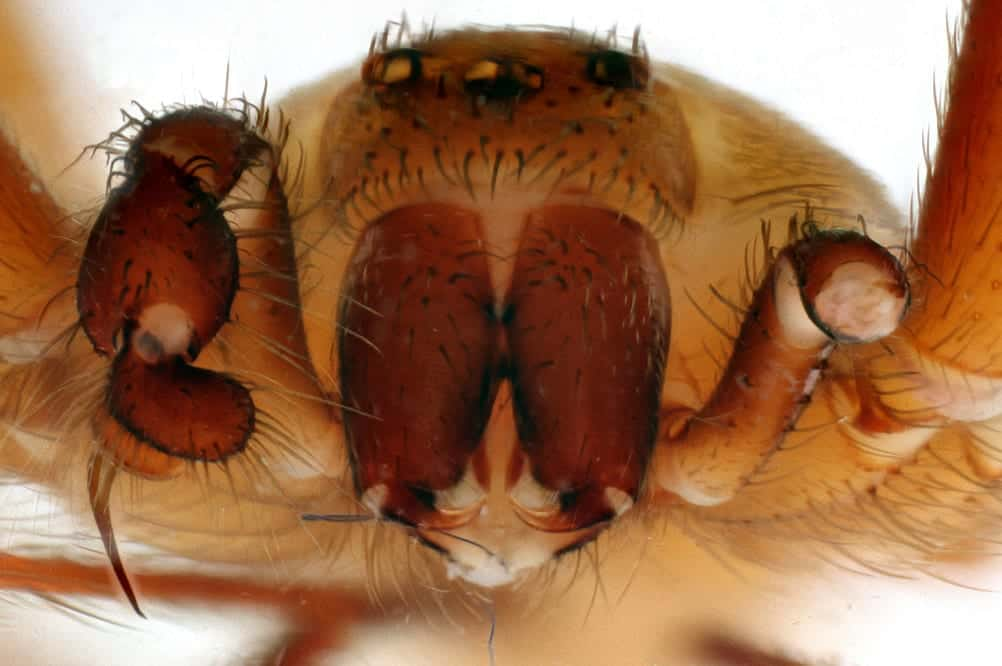 Brown Recluse - picture of a scary spider