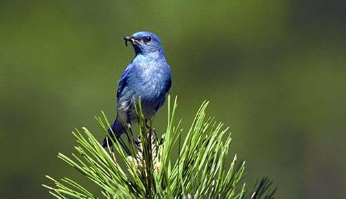 blue bird symbolism