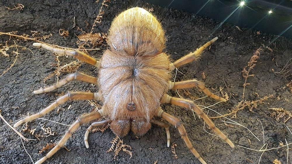 Bonus Spider- Megarachne