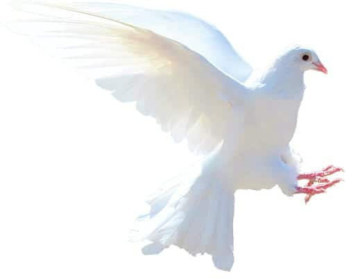 dove - meaning peace