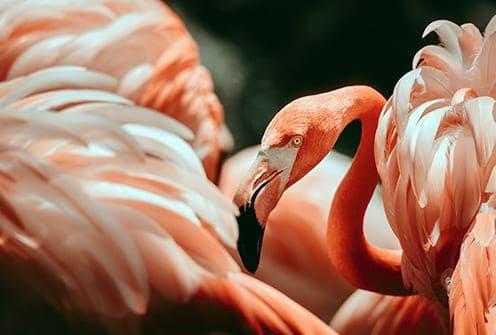 flamingo personifies romance, generosity