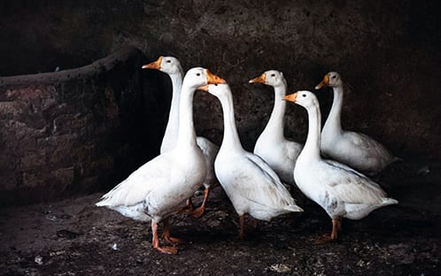 goose birds symbol