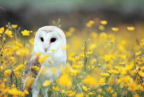 owl symbolizes wisdom