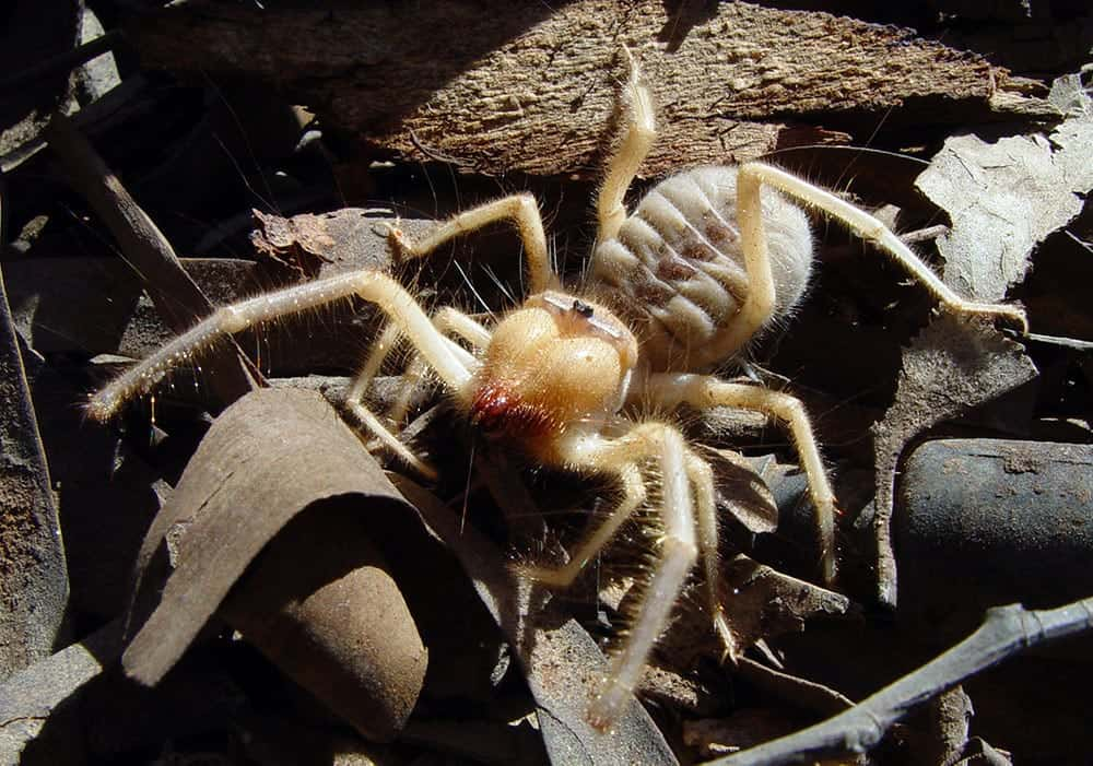 scary Camel Spider picture