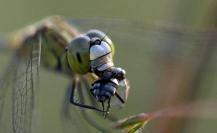 Dragonfly Death