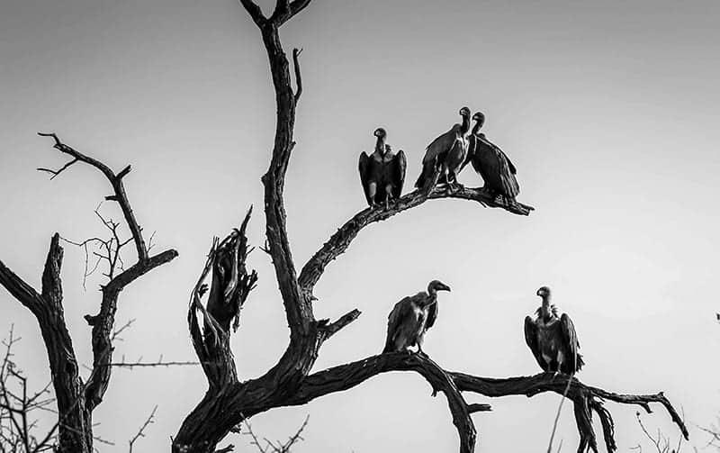 Omen of the Birds of death