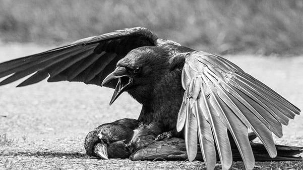 Ravens - Bird of Death