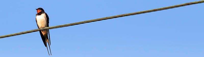 Swallow-Totem-Animal