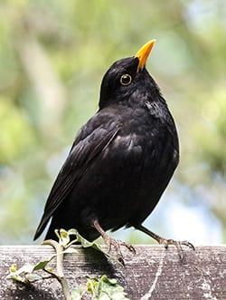 Blackbird Spirit Animal