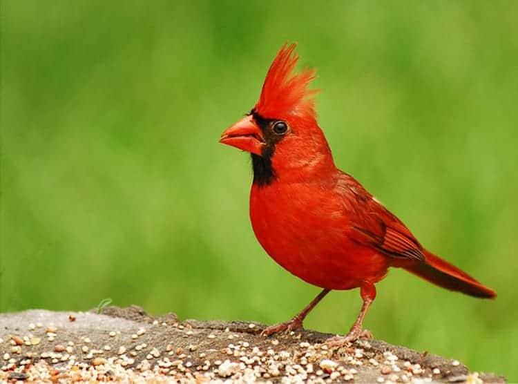 Cardinal Bird meaning