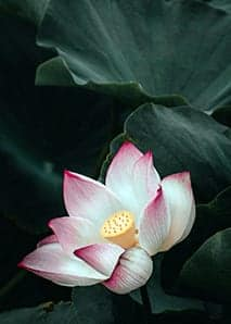 Meaning of the Lotus Flower In Vietnam