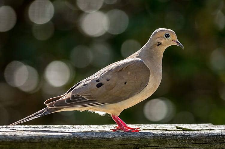 Mourning dove symbolism