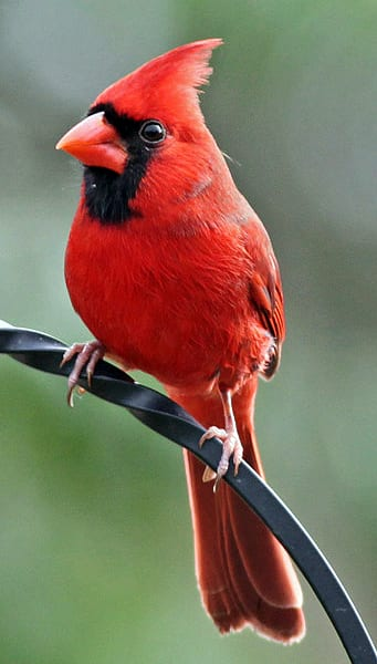 Red cardinal represents God
