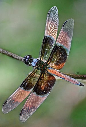 Symbolism behind the Dragonfly