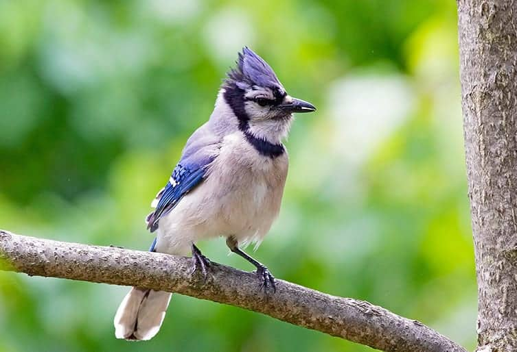 What does the Bible say about blue jay