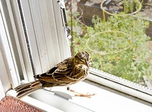 What to do if a bird flies into your house