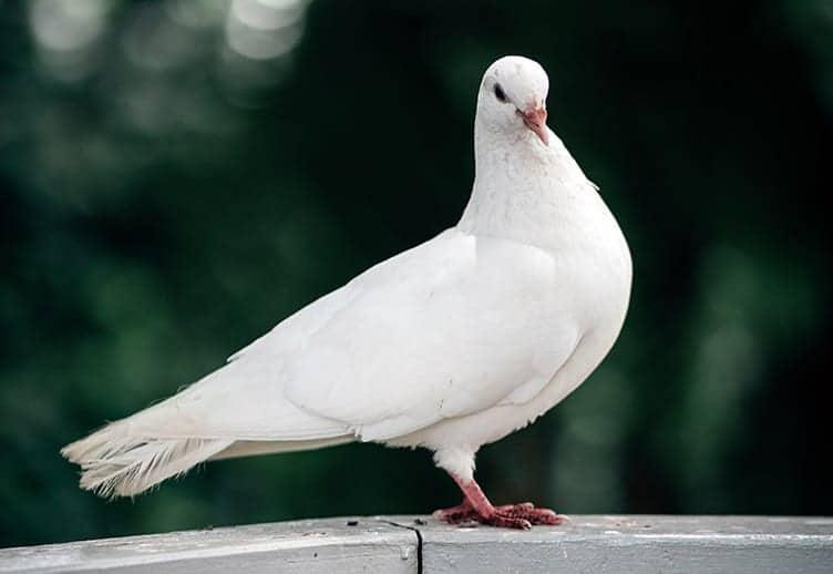 White dove symbolism