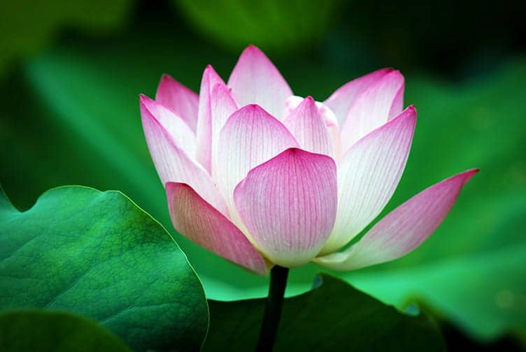 Why is the Lotus Sacred Among the Vietnamese Flowers
