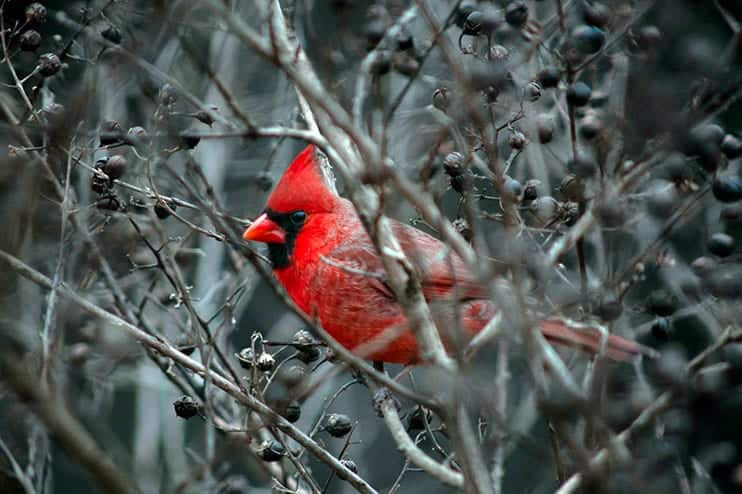 is a cardinal a sign from God?