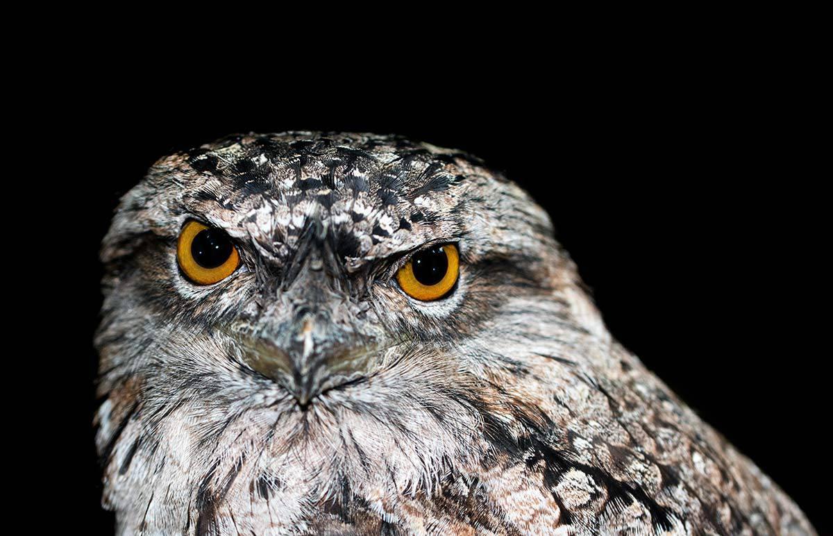Owl Native American