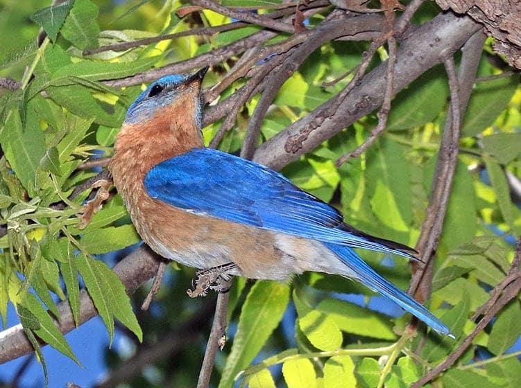 Bluebird Superstition