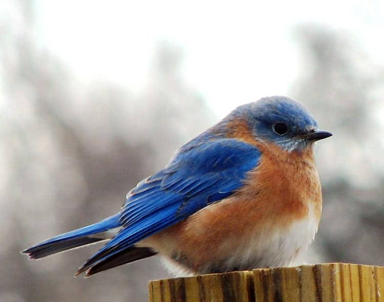 Bluebirds - Chasing Your Blues Away