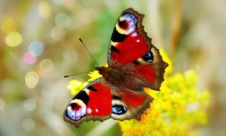 Cultural Symbolism Of Butterflies