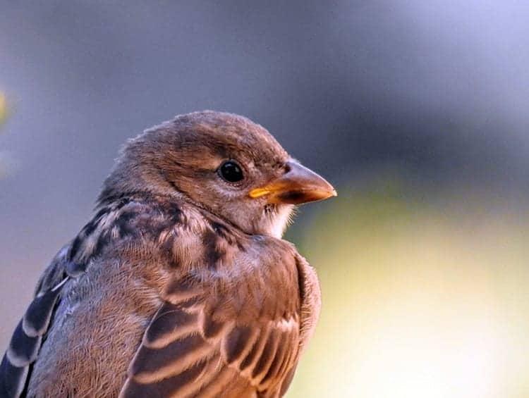 Sparrows and Death: Symbolism