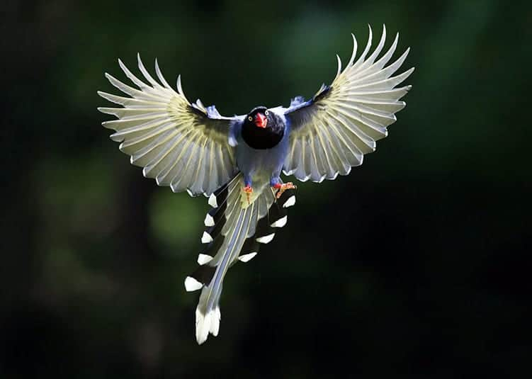 The Formosan Magpie