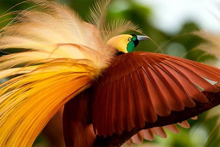 The King Birds of Paradise