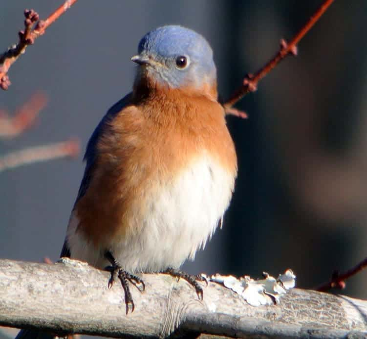 What Does It Mean When You See A Bluebird