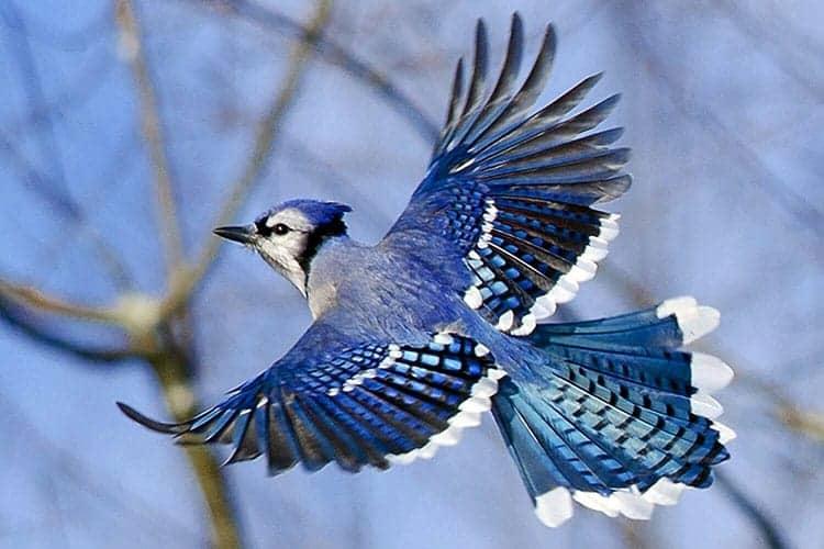 blue Jay beautiful