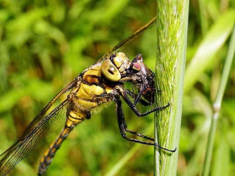 Dragonfly as a symbol of death