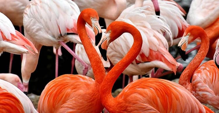 Meaning of flamingos in dreams