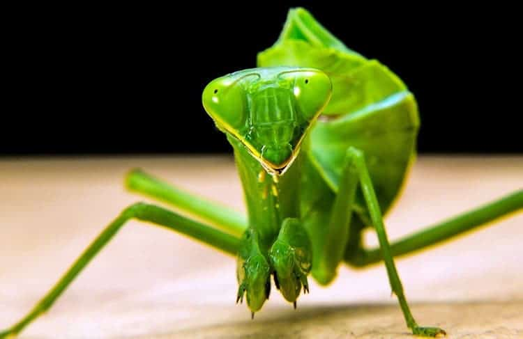 What does it mean to see a praying mantis