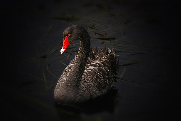 black swan meaning