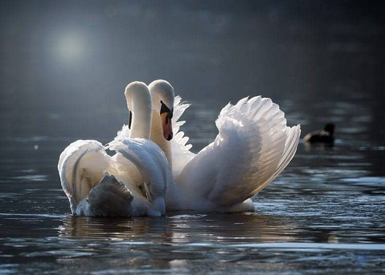spiritual totem, the swan