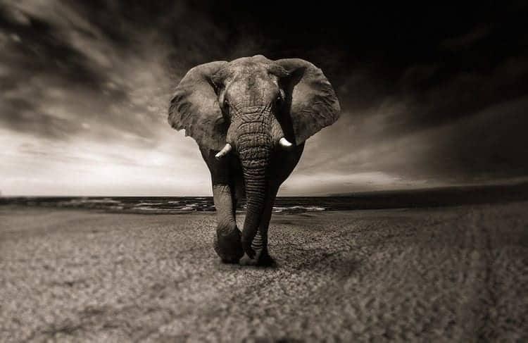 animals that represent strength Elephant