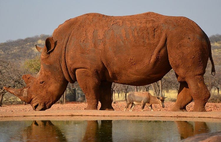 strong animal Rhinoceros