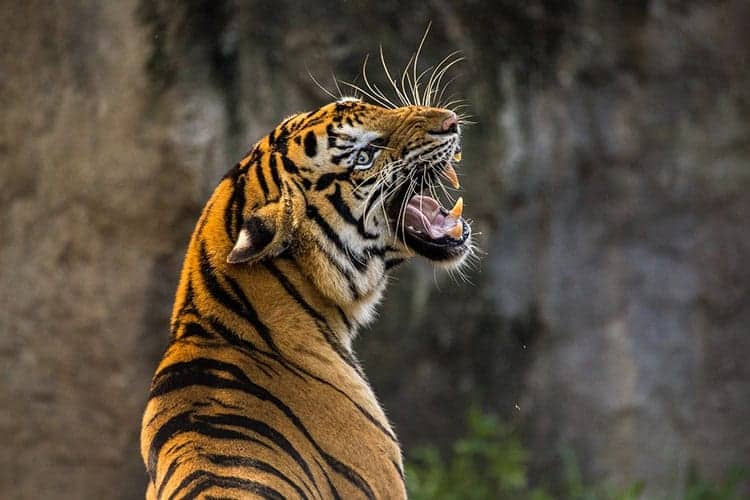 strong animal Tiger