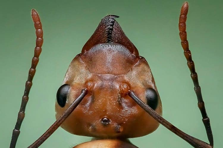 strong animal ant
