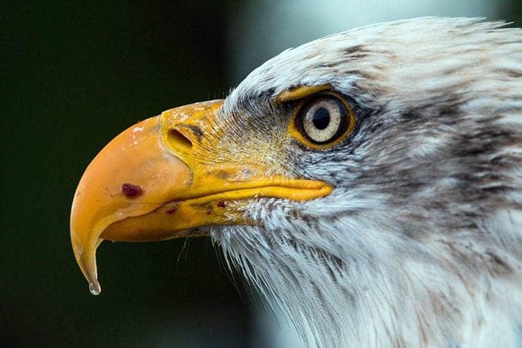 strong animal eagle