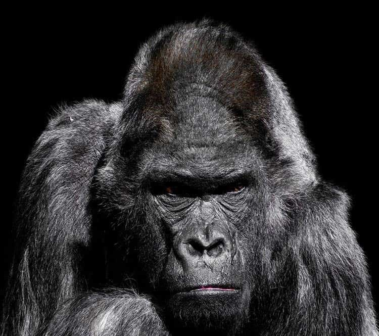strong animal gorilla