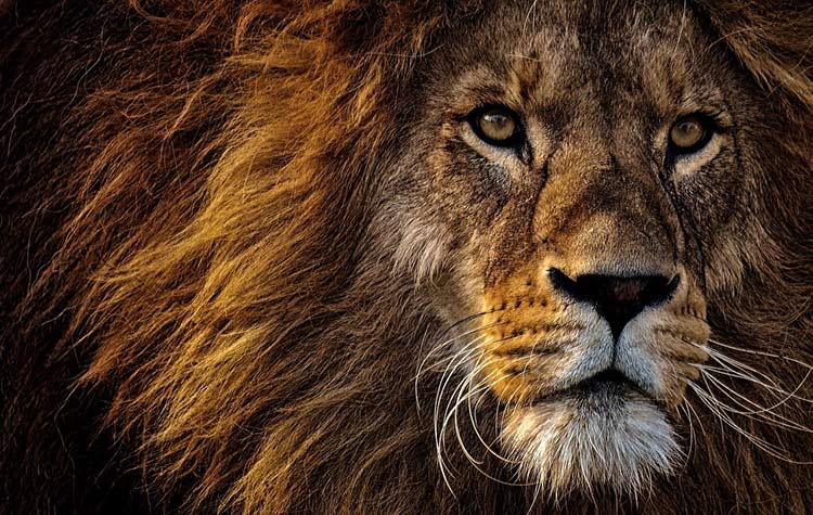 animals that represent strength Lion