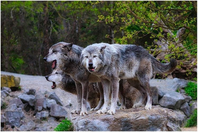 strong animal wolves