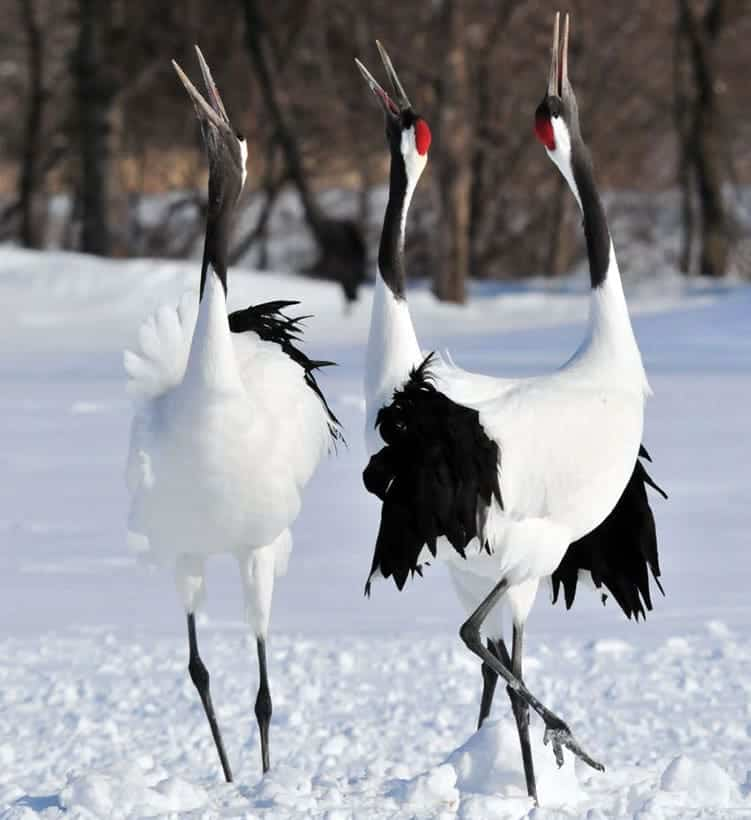 Cranes As Spirit Or Totem Animals