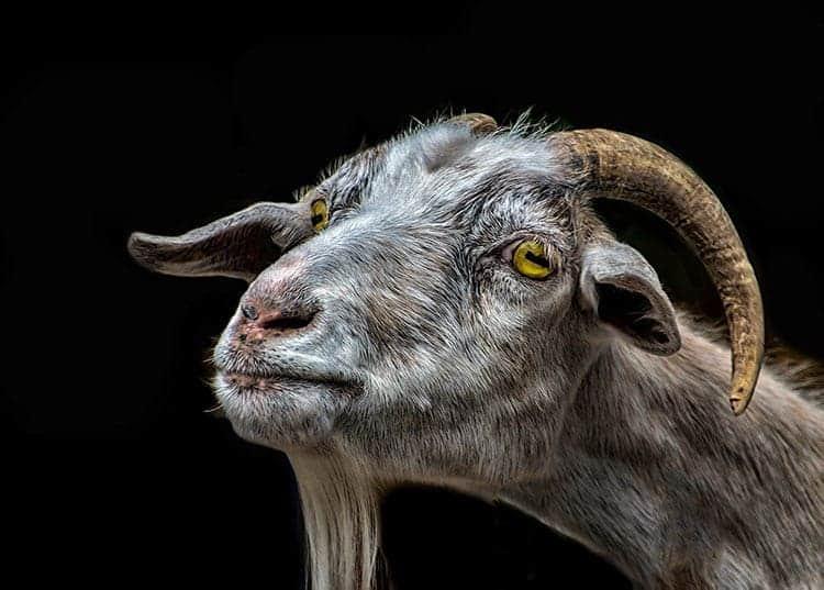 Goat spirit animal